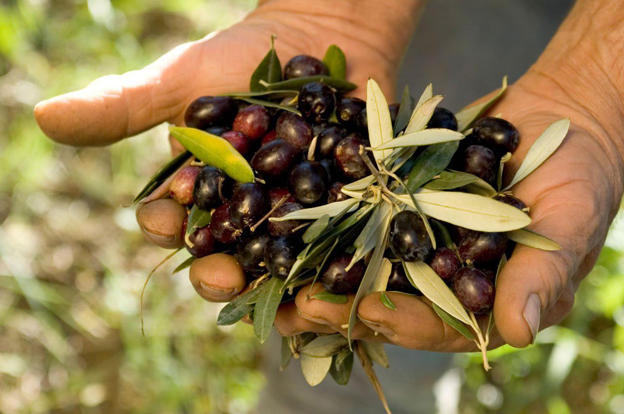 Strada dell'olio DOP Umbria, tradizione dell'olivicoltura